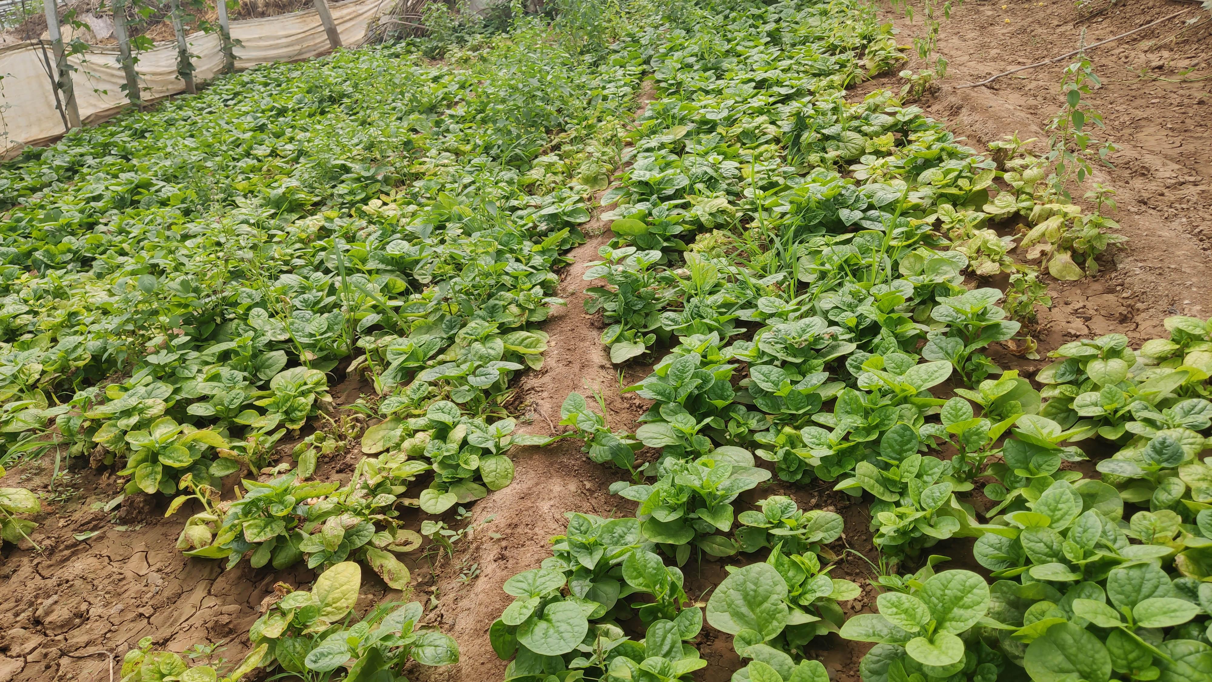 未使用植物生长调节剂的木耳菜