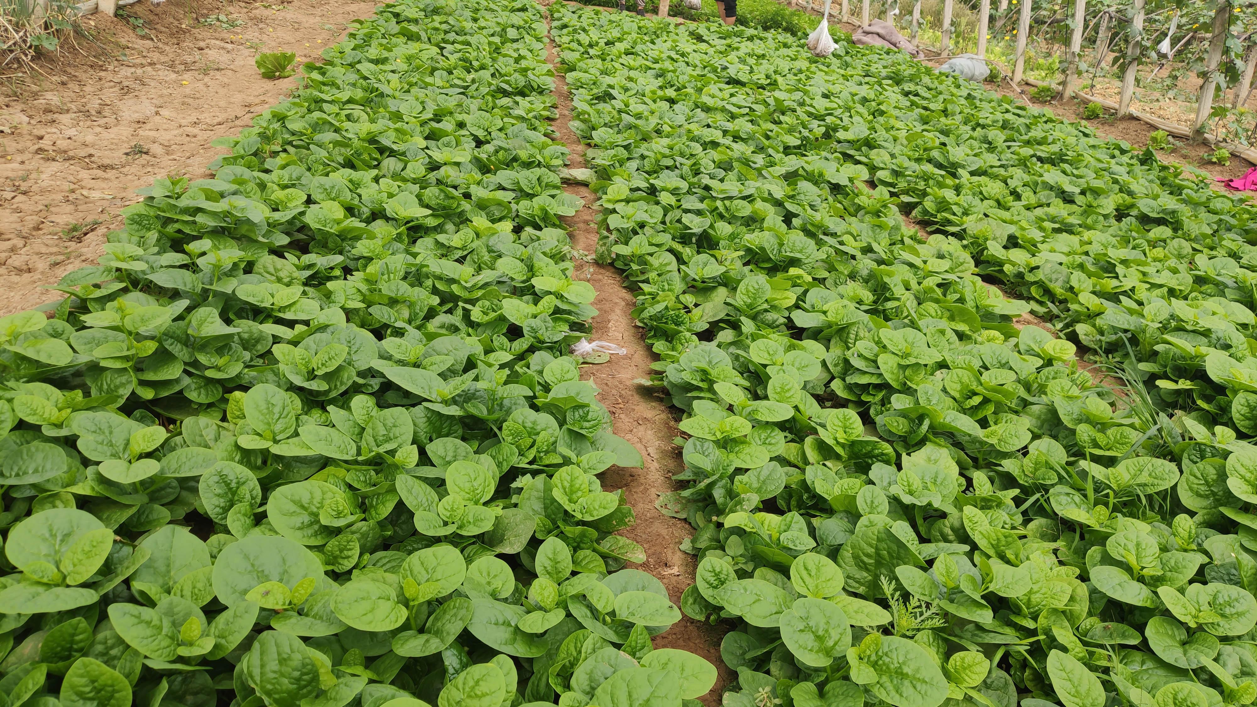 使用了植物生长调节剂的木耳菜